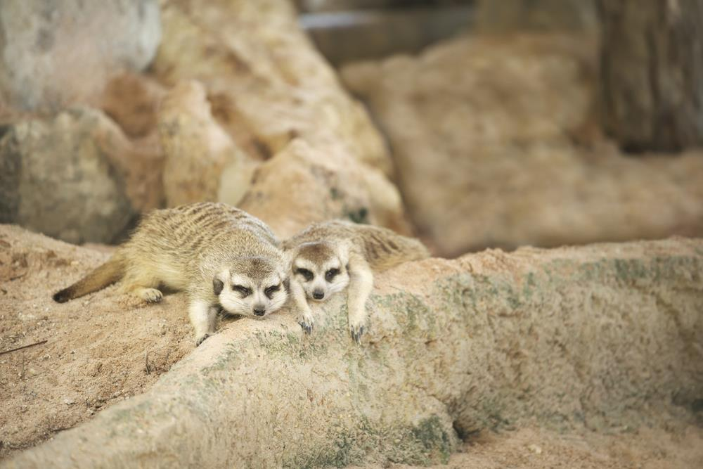 Pair of Meerkat sleeping