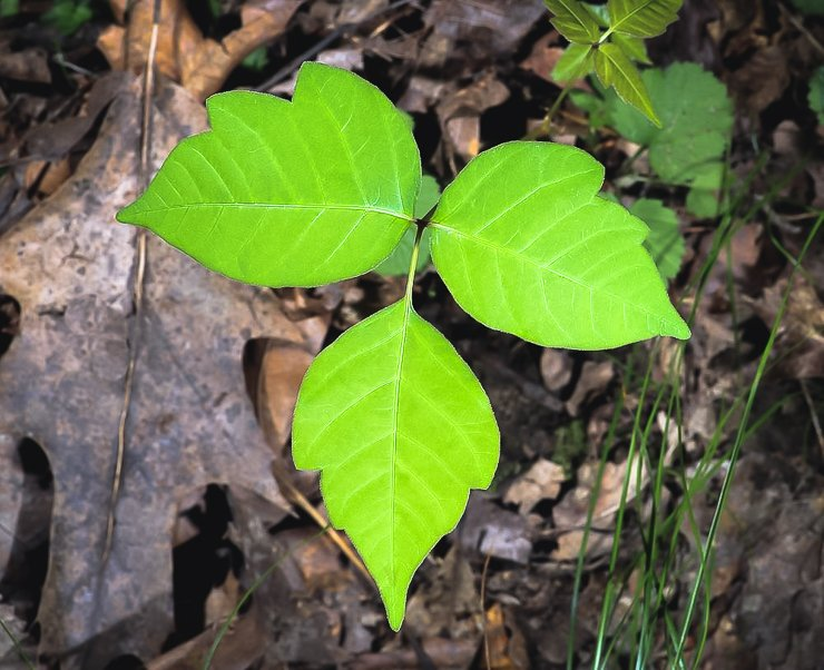 Poison-ivy-plant