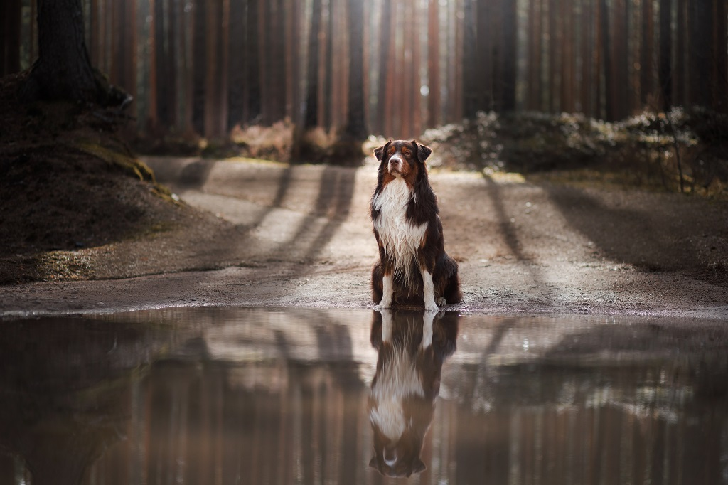 Dog Australian shepherd sitting by the water in the forest