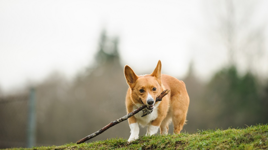 Welsh Pembroke Corgi dog with stick on hill