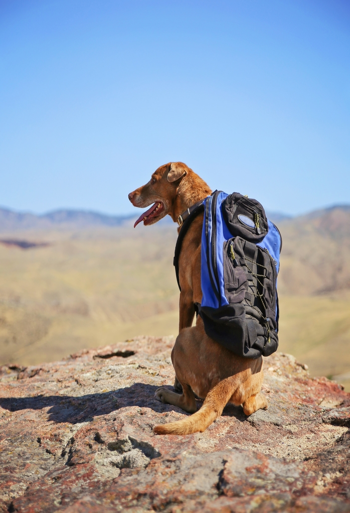 a dog sitting on a mountain top with a canvas backpack looking o
