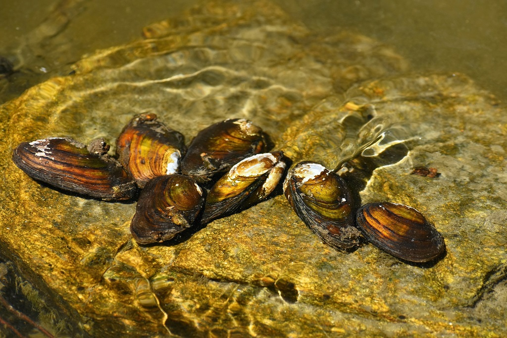 River clams on the rock in a clean river. Anodonta anatina